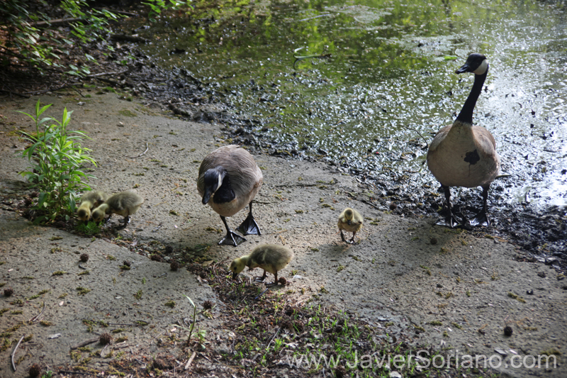 5/16/2011. Brooklyn, NYC.  Canada geese and goslings in Prospect Park. I think it was the last time that there were goslings in this park. The U.S. government doesn't want Canada Geese in NYC parks and kill them.  Photo by Javier Soriano/www.JavierSoriano.com