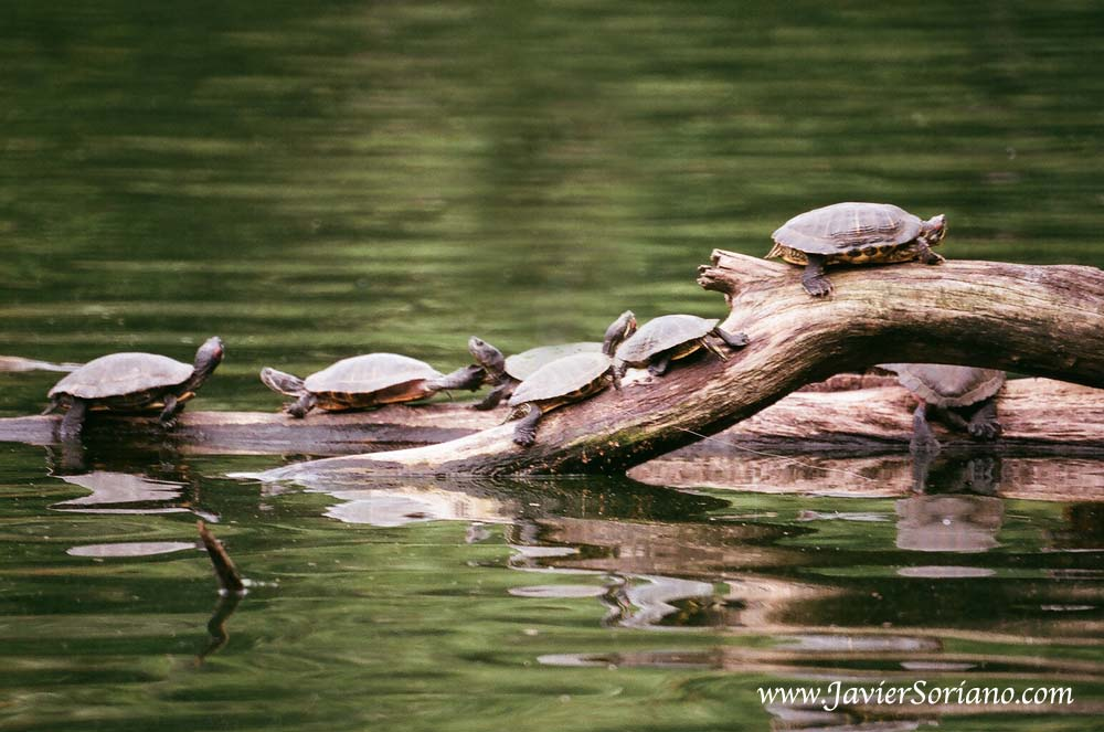 6/20/2011. Brooklyn, New York City.   Turtles in Prospect Park.   Photo by Javier Soriano/www.JavierSoriano.com