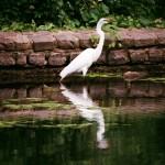 6/20/2011. Brooklyn, New York City. Beautiful bird in Prospect Park. Photo by Javier Soriano/www.JavierSoriano.com