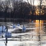 Swans in a public park in NYC. They are beautiful. I love swans! - Varios cisnes en un parque público de la ciudad de Nueva York. Hermosos. ¡Me encantan los cisnes! Beautiful birds in a New York City park. They look like snow, but they are not snow....I WANT SNOW, MOTHER NATURE! Photo by Javier Soriano/www.JavierSoriano.com