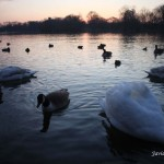 2/22/2012. Brooklyn, NYC. Canada geese, swans and ducks enjoying the Spring weather in Prospect Park. Photo by Javier Soriano/www.JavierSoriano.com