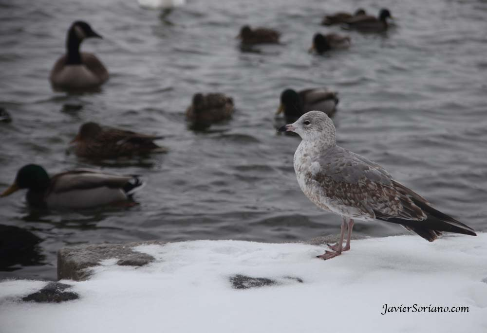 1/21/2012. Prospect Park. Brooklyn, New York City. First snowfall of the 2012-2013 Winter season. Is this a seagull?  Photo by Javier Soriano/www.JavierSoriano.com