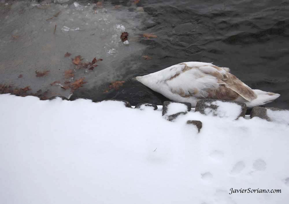 1/21/2012. Prospect Park. Brooklyn, New York City. First snowfall of the Winter season of 2012. Swan eating. Photo by Javier Soriano/www.JavierSoriano.com