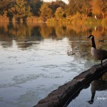 10/11/2012. Prospect Park. Brooklyn, NYC. A beautiful Canada Geese. Photo by Javier Soriano/www.JavierSoriano.com