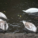 10/29/2012. Prospect Park. Brooklyn, NYC. Swans eating. Photo by Javier Soriano/www.JavierSoriano.com
