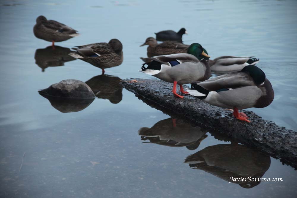 12/12/2012. Prospect Park. Brooklyn, NYC.  Female ducks and drakes (adult males).  It was a special day. 12/12/12 only happens once every 100 years.  Photo by Javier Soriano/www.JavierSoriano.com