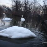 12/12/2012. Prospect Park. Brooklyn, NYC. Swans eating. Just keep swimming, just keep swimming, just keep swimming. It was a special day. 12/12/12 only happens once every 100 years. Photo by Javier Soriano/www.JavierSoriano.com