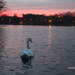 12/12/2012. Prospect Park. Brooklyn, NYC. Swan swimming. Just keep swimming, just keep swimming, just keep swimming. It was a special day. 12/12/12 only happens once every 100 years. Photo by Javier Soriano/www.JavierSoriano.com