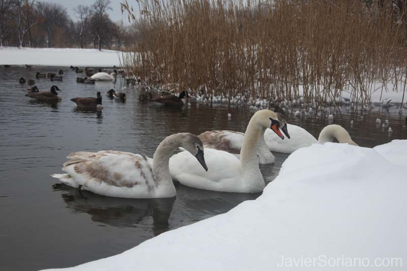 2/09/2013. Prospect Park. Brooklyn, NYC. Snowfall. I love snow and swans! Photo by Javier Soriano/www.JavierSoriano.com
