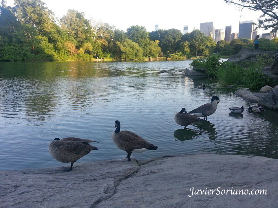 June 2013 - Canada geese in Central Park. Manhattan, NYC. Photo by Javier Soriano/www.JavierSoriano.com