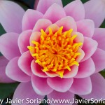 Sunday, May 24th, 2015. New York City – It is Spring in NYC and there are many flowers at the Brooklyn Botanic Garden. It is beautiful! Photo by Javier Soriano/http://www.JavierSoriano.com/