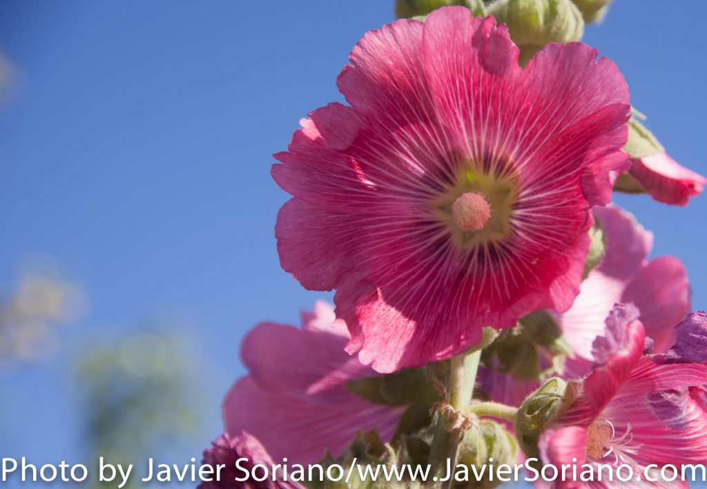 4/16/2016 Arizona - It's Spring. Beautiful flowers. Photo by Javier Soriano/www.JavierSoriano.com