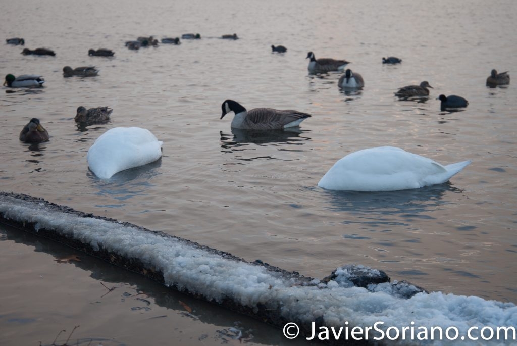 Afternoon. 2/9/2017 NYC - Winter storm Niko in Prospect Park, Brooklyn. Swans, Canada geese and ducks eating. Photo by Javier Soriano/www.JavierSoriano.com