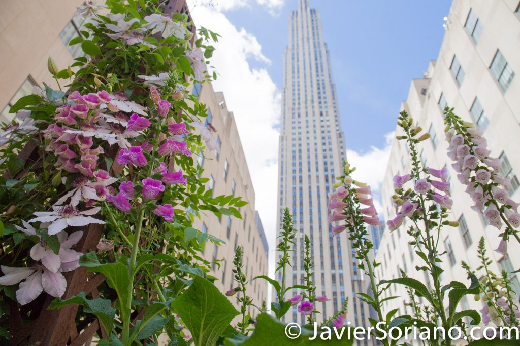 5/15/2017 Beautiful flowers and the Rockefeller Center in NYC. Photo by Javier Soriano/www.JavierSoriano.com