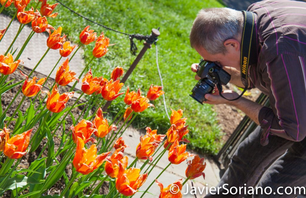 May 2, 2017 NYC - Photographer taking pictures of beautiful tulips at the Brooklyn Botanic Garden. Fotografo tomando fotos de hermosos tulipanes en el Jardín Botánico de Brooklyn. Photo by Javier Soriano/www.JavierSoriano.com