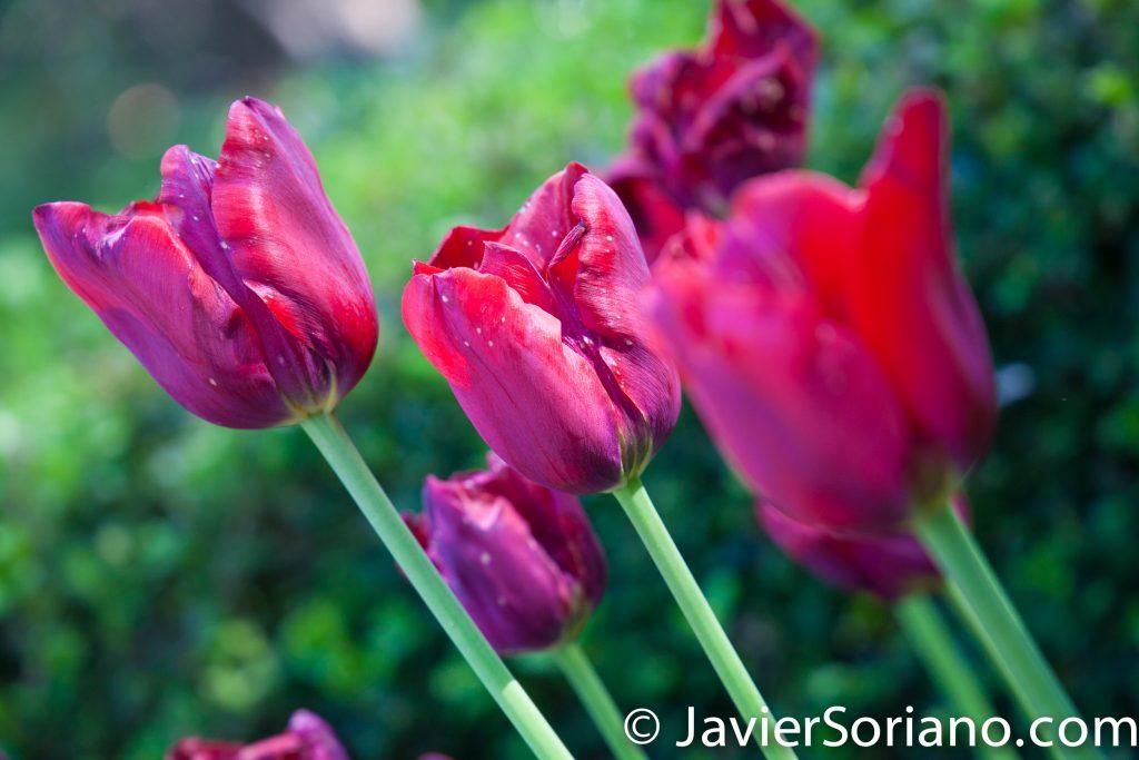 May 2, 2017 NYC - Beautiful red tulips at the Brooklyn Botanic Garden/Hermosos tulipanes rojos en el Jardín Botánico de Brooklyn. Photo by Javier Soriano/www.JavierSoriano.com
