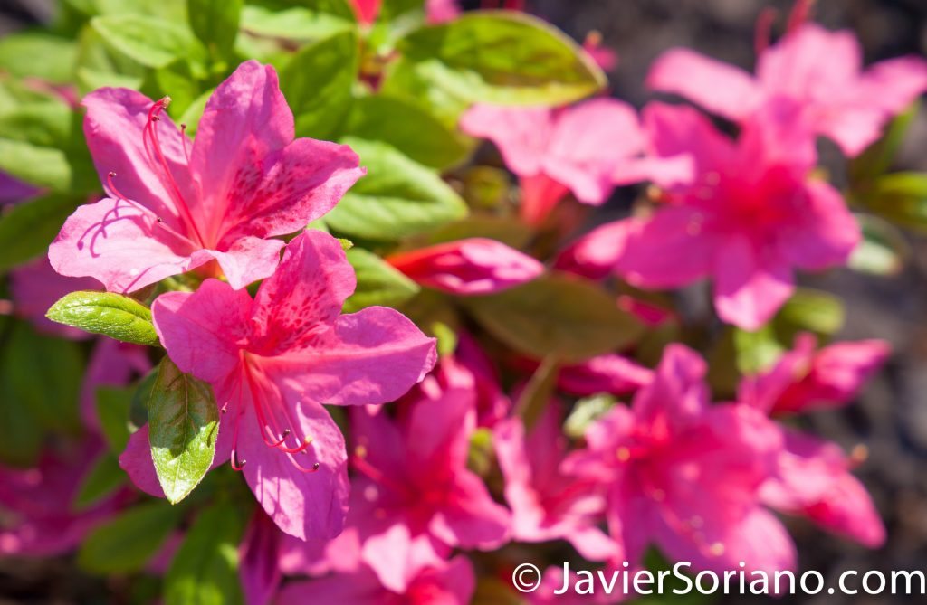 May 2, 2017 NYC - Beautiful azalea flowers at the Brooklyn Botanic Garden. Hermosas flores de azalea en el Jardín Botánico de Brooklyn. Photo by Javier Soriano/www.JavierSoriano.com