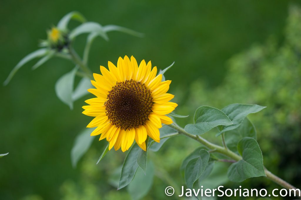 6/6/2017 NYC – Sunflower at the Brooklyn Botanic Garden. Girasol en el Jardín Botánico de Brooklyn. Photo by Javier Soriano/www.JavierSoriano.com