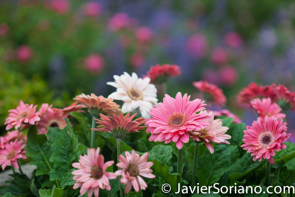 6/6/2017 NYC – Beautiful flowers at the Brooklyn Botanic Garden. Hermosas flores en el Jardín Botánico de Brooklyn. Photo by Javier Soriano/www.JavierSoriano.com