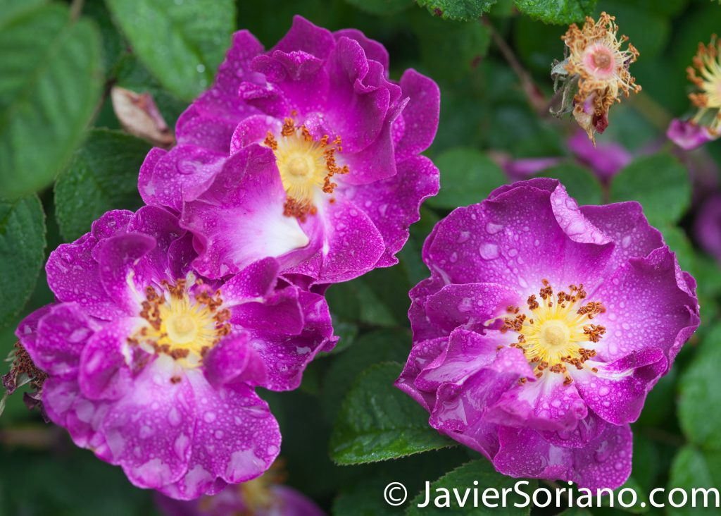 6/6/2017 NYC – Beautiful purple roses at the Brooklyn Botanic Garden. Hermosas rosas moradas en el Jardín Botánico de Brooklyn. Photo by Javier Soriano/www.JavierSoriano.com