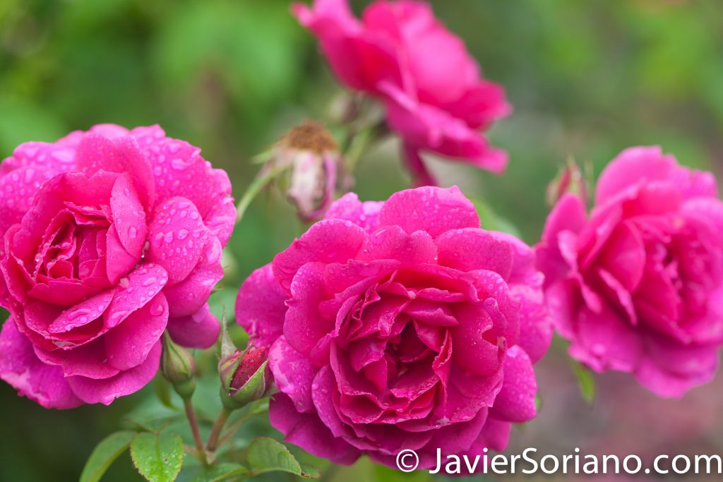 6/6/2017 NYC – Gorgeous pink roses at the Brooklyn Botanic Garden. Hermosas rosas rosadas en el Jardín Botánico de Brooklyn. Photo by Javier Soriano/www.JavierSoriano.com