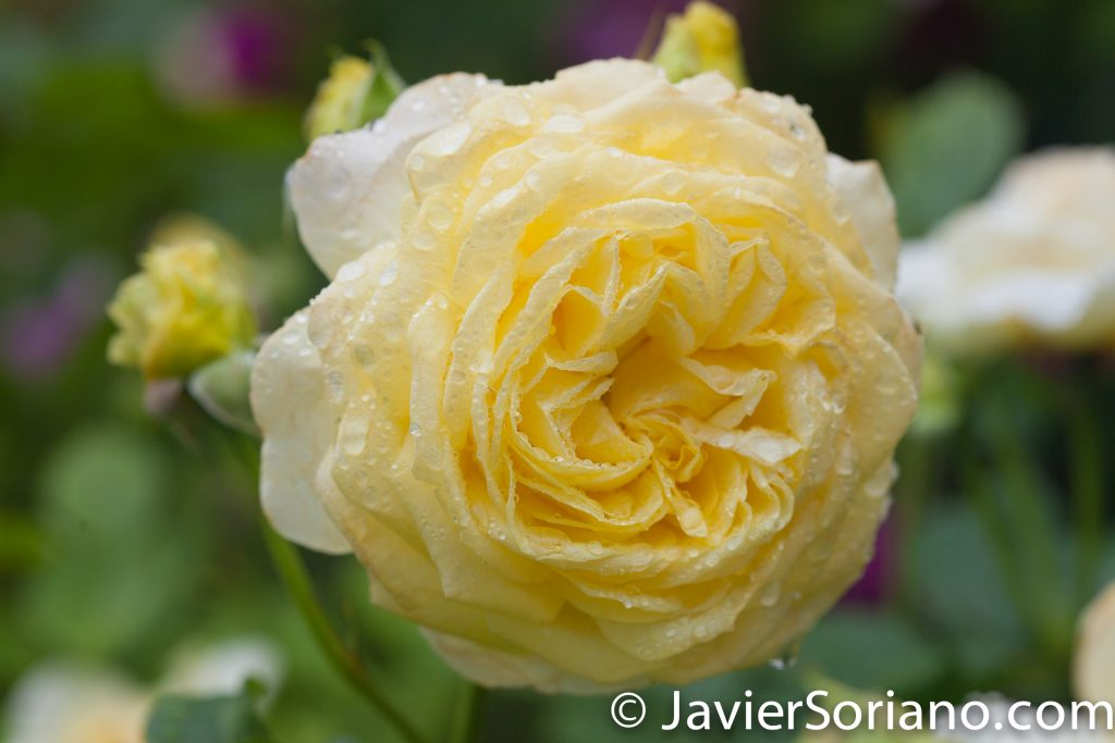 6/6/2017 NYC – A gorgeous yellow rose at the Brooklyn Botanic Garden. Hermosa rosa amarilla en el Jardín Botánico de Brooklyn. Photo by Javier Soriano/www.JavierSoriano.com