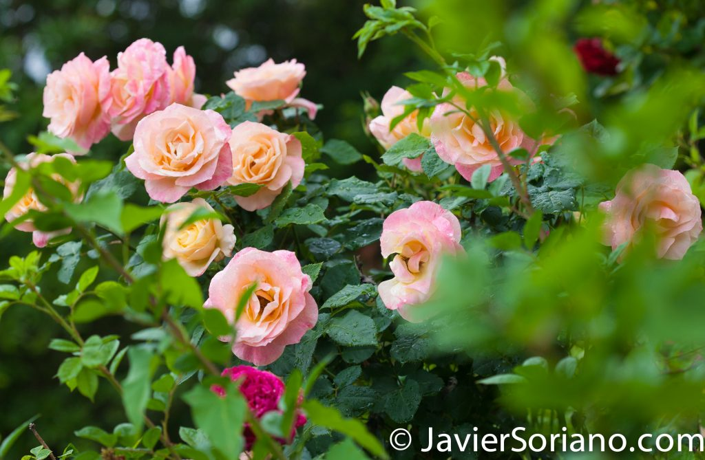 6/6/2017 NYC – Beautiful roses at the Brooklyn Botanic Garden. Hermosas rosas en el Jardín Botánico de Brooklyn. Photo by Javier Soriano/www.JavierSoriano.com