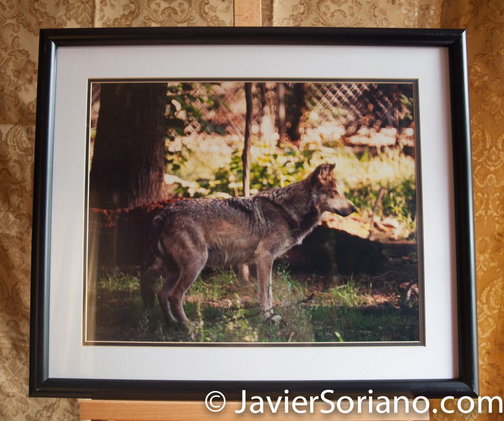 Mexican Wolf. New York City. Original framed photograph by Javier Soriano. Size: 20x24.