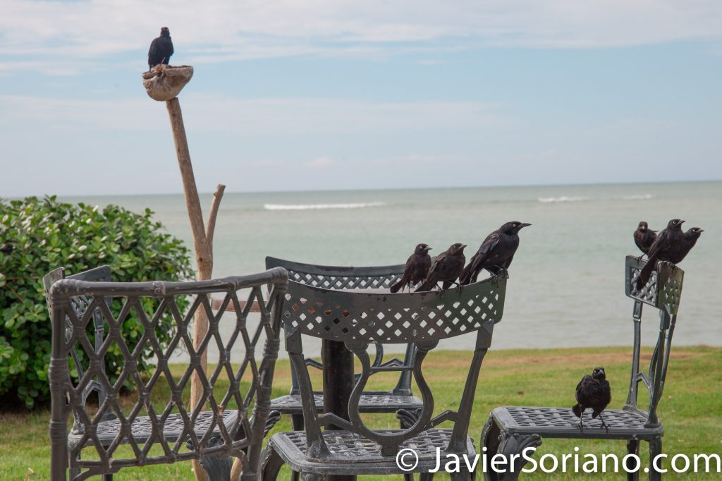 9/15/2017. Melia Coco Beach Resort. Rio Grande. Puerto Rico.  again, I did not see a colorful sunrise, but I saw these beautiful birds.   Photo by Javier Soriano/www.JavierSoriano.com