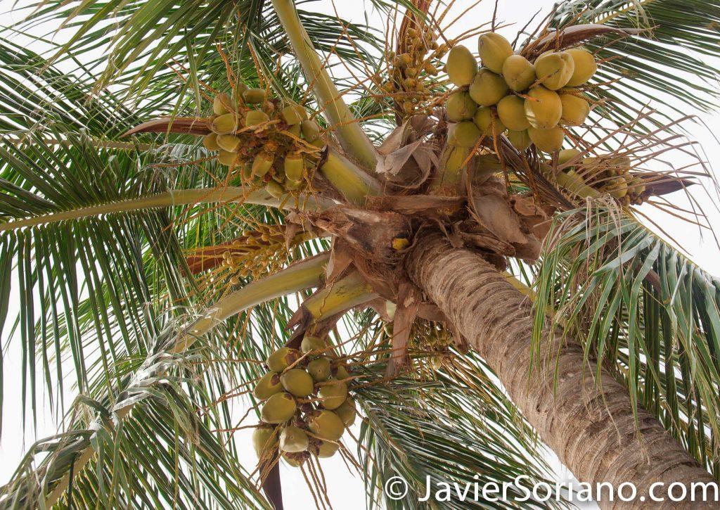 9/13/2017. Rio Grande. Puerto Rico.  Coconuts at the Melia Coco Beach Resort.   Photo by Javier Soriano/www.JavierSoriano.com