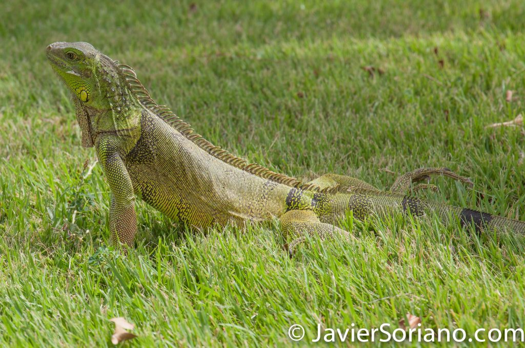 9/14/2017. Melia Coco Beach Resort. Rio Grande. Puerto Rico. Iguana posing for my camera.... Photo by Javier Soriano/www.JavierSoriano.com