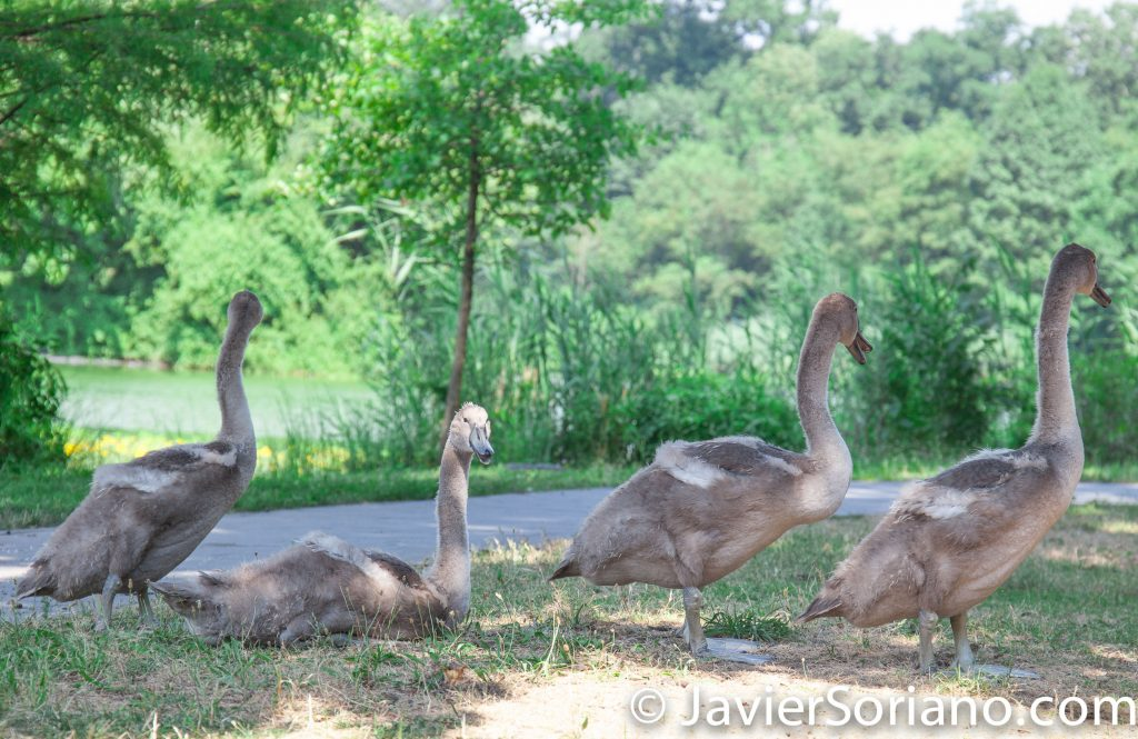 "7/20/2017. Brooklyn, New York City. ""Baby"" swans in Prospect Park. It's a beautiful Summer day. Photo by Javier Soriano/www.JavierSoriano.com"