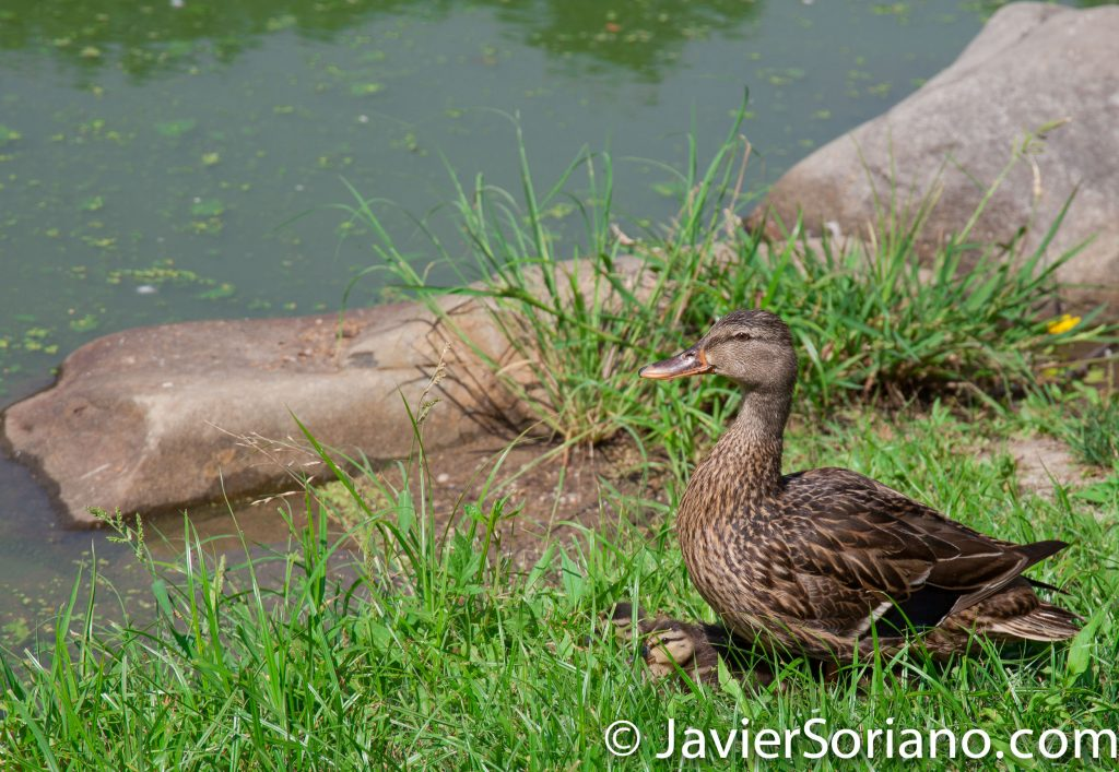 7/20/2017. Brooklyn, New York City. Female duck with her babies in Prospect Park. It's a beautiful Summer day. Photo by Javier Soriano/www.JavierSoriano.com