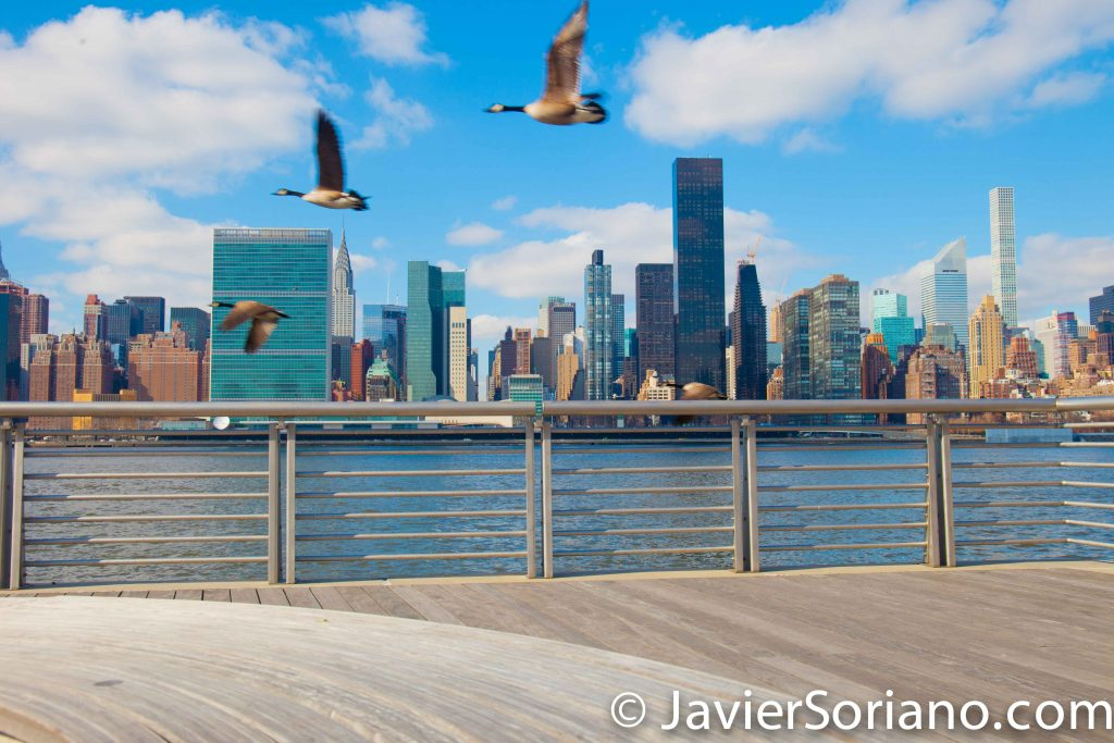 Long Island City. Queens, New York City.  The East river, the United Nations building, the Chrysler Building and many other skyscrapers in Manhattan.  Canada geese flying. Freedom for animals!  Photo by Javier Soriano/www.JavierSoriano.com