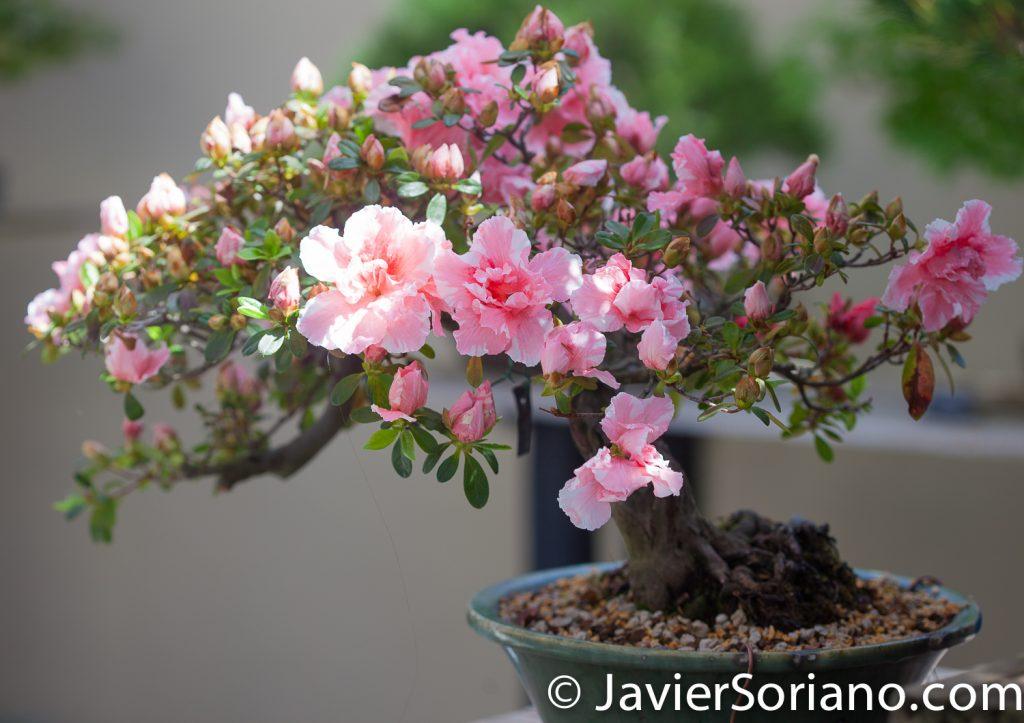 4/20/2018. New York City - Rhododendron Obtusum Amoenum. Brooklyn Botanic Garden. Abril 20, 2018. Ciudad de Nueva York - Jardín Botánico de Brooklyn.  Photo by Javier Soriano / www.JavierSoriano.com