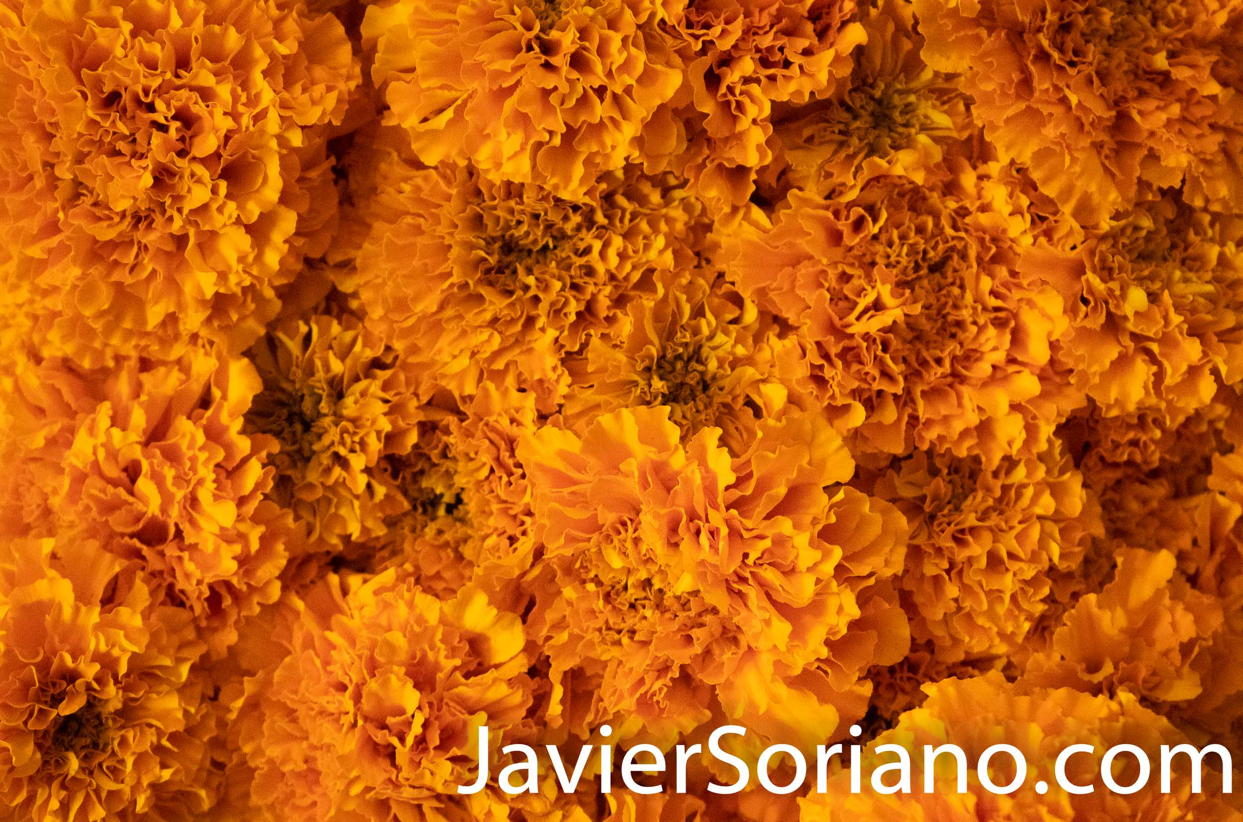Flor de Cempazúchitl (in English Mexican marigold or Aztec marigold).