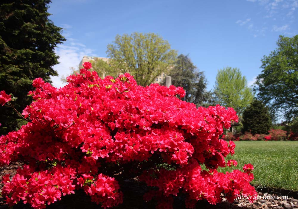 Wednesday, April 18, 2012. New York City - Beautiful red azaleas at the Brooklyn Botanical Garden. Photo by Javier Soriano/www.JavierSoriano.com