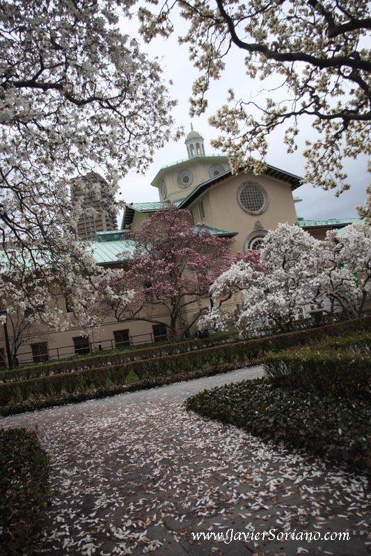 Magnolias at the Brooklyn Botanic Garden