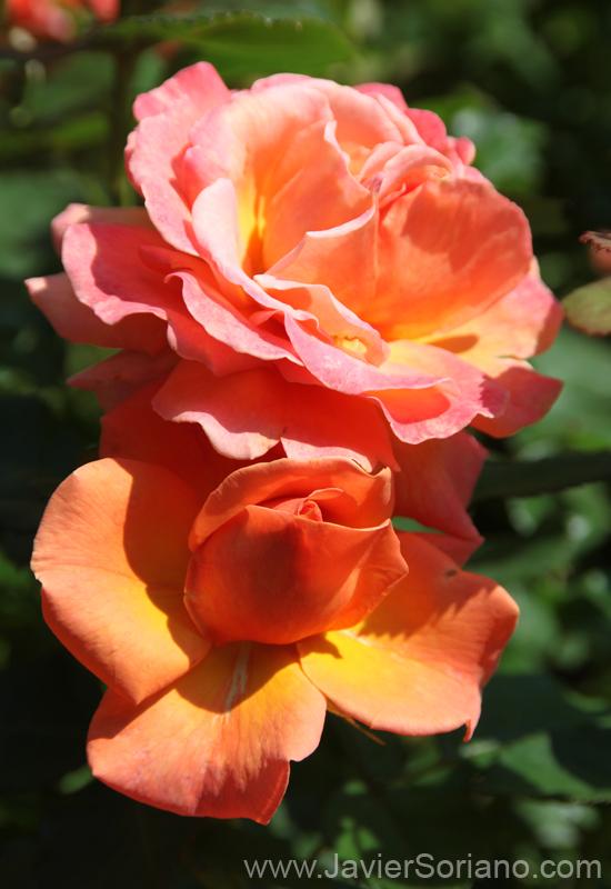 Tuesday, June 7, 2011. Brooklyn, New York City - Roses. Brooklyn Botanic Garden. Martes 7 de junio de 2011. Brooklyn, ciudad de Nueva York - Rosas en el Jardín Botánico de Brooklyn. Photo by Javier Soriano/www.JavierSoriano.com