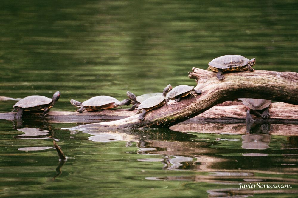 December 2011. New York City - It's warm today and these turtles are taking some sun after the long winter season.
