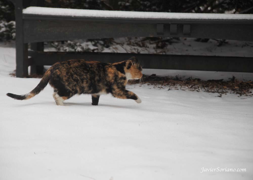 1/21/2012. New York City - First snowfall of the Winter season of 2012 - primera nevada de la estación de Invierno en el 2012. A beautiful cat! Foto por Javier Soriano/www.JavierSoriano.com
