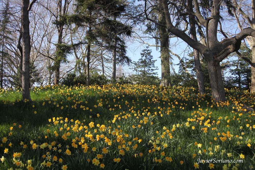 Brooklyn, New York City - Daffodil Hill. Brooklyn Botanic Garden.