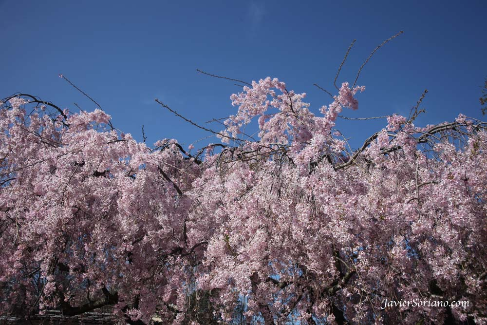 Tuesday, March 27th, 2012. Brooklyn, New York City - Cherry blossoms. Japanese garden. Brooklyn Botanic Garden (BBG). Photo by Javier Soriano/www.JavierSoriano.com