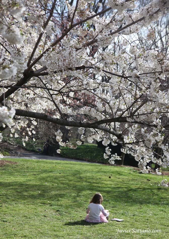Tuesday, March 27th, 2012. Brooklyn, New York City - A child playing under beautiful cherry blossoms. Brooklyn Botanic Garden.  Martes 27 de marzo, 2012. Niña en el Jardín Botánico de Brooklyn de la ciudad de Nueva York.  Photo by Javier Soriano/www.JavierSoriano.com