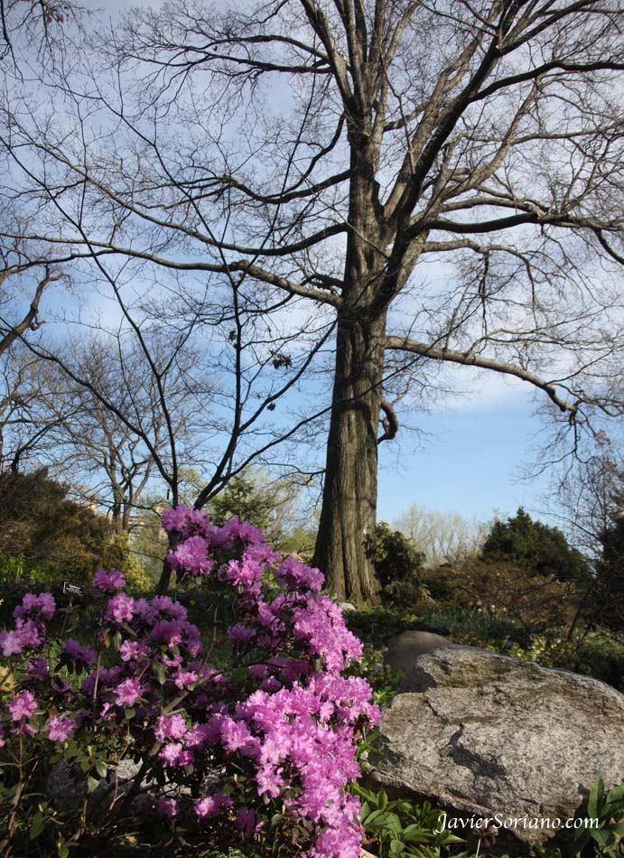 3/27/2012. Brooklyn, New York City - Flowers at the Brooklyn Botanic Garden.  27/3/2012. Brooklyn, ciudad de Nueva York - Flores en el Jardín Botánico de Brooklyn.  Photo by Javier Soriano/www.JavierSoriano.com
