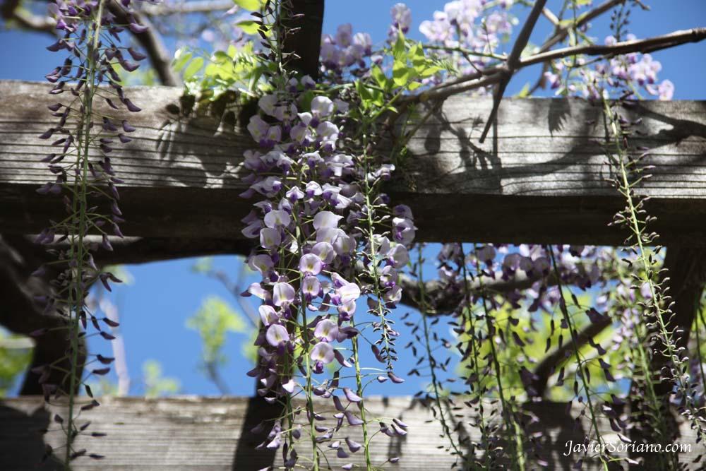 Tuesday, April 17, 2012. Brooklyn, New York City -  Japanese Wisteria. Wisteria Floribunda. Brooklyn Botanic Garden. New York City.  Photo by Javier Soriano/www.JavierSoriano.com
