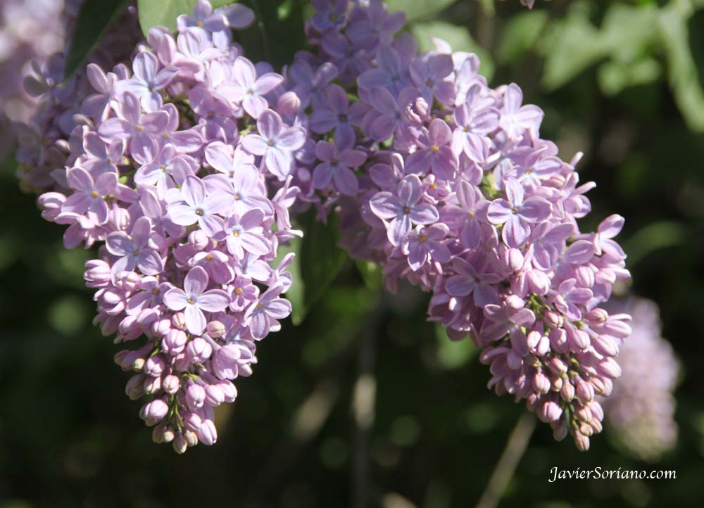 Tuesday, April 17, 2012. Brooklyn, New York City - Syringa Vulgaris. Brooklyn Botanic Garden.   Photo by Javier Soriano/www.JavierSoriano.com