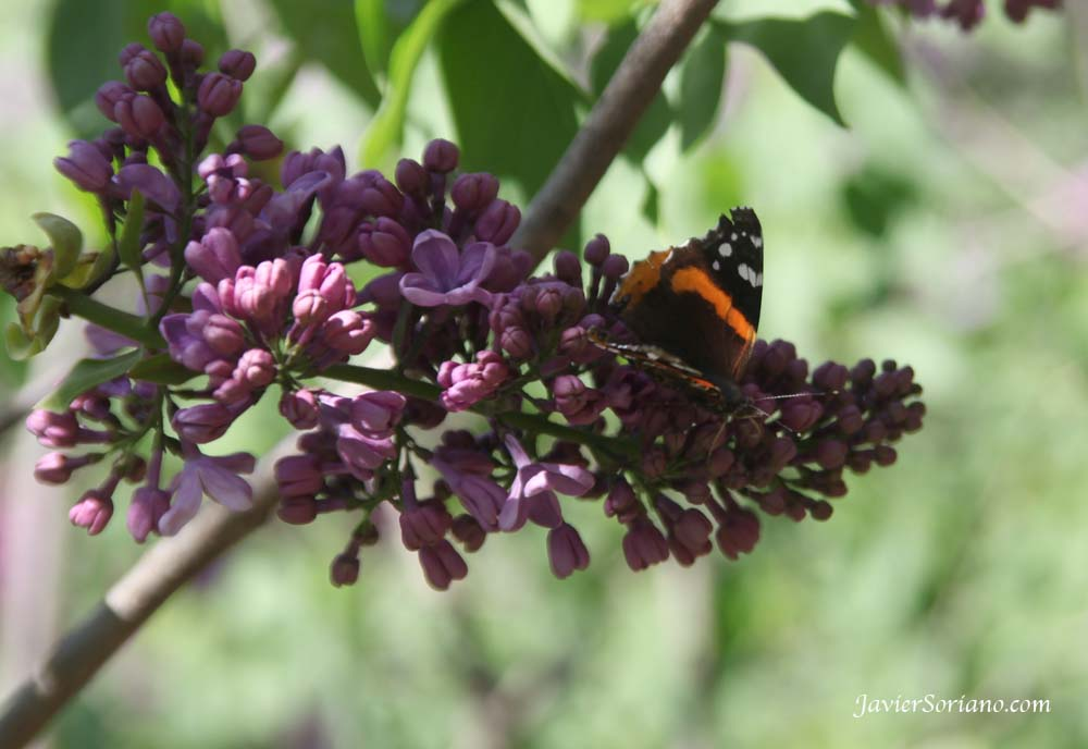 Tuesday, April 17, 2012. Brooklyn, New York City -  A beautiful butterfly on a Syringa Vulgaris. Brooklyn Botanic Garden.   Photo by Javier Soriano/www.JavierSoriano.com