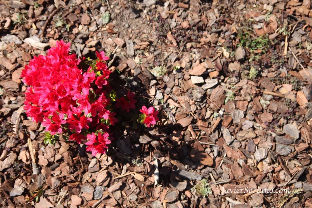 Tuesday, April 30, 2013. Brooklyn, New York City –   Azaleas. Brooklyn Botanic Garden  - Jardín Botánico de Brooklyn.  Photo by Javier Soriano/www.JavierSoriano.com