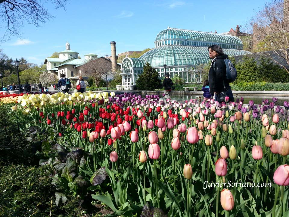 Tuesday, April 30, 2013. Brooklyn, New York City –  A woman looking at the beautiful tulips at the Brooklyn Botanic Garden.  Martes, 30 de abril 2013. Brooklyn, ciudad de Nueva York - Una mujer mirando los hermosos tulipanes en el Jardín Bótanico de Brooklyn.  Photo by Javier Soriano/www.JavierSoriano.com